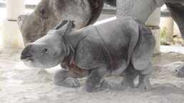 Conoce al primer bebé rinoceronte que nació por inseminación artificial