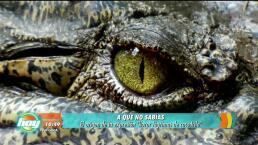 ¿Has llorado lágrimas de cocodrilo?
