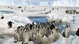 Mueren miles de pingüinos bebé, a causa del cambio climático
