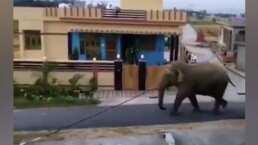 Un hombre deja su motocicleta para huir de un elefante que caminaba por su calle