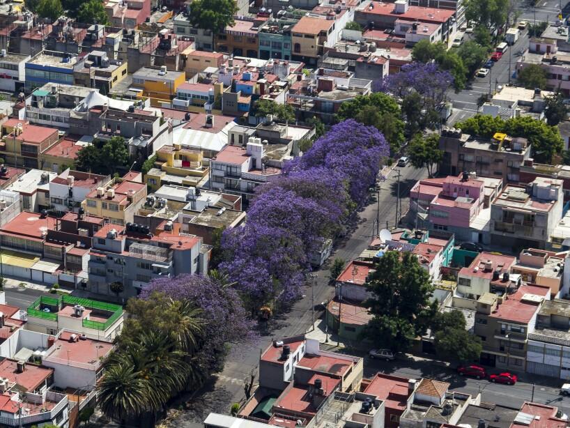¿Cómo llegaron las jacarandas a México?