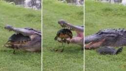 Esta tortuga se libró de ser devorada por un caimán y todo gracias a su fuerte caparazón