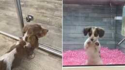 Perrito conmueve en TikTok al ver que su amigo es adoptado