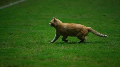 La noche anterior, un gato color miel se perdió en el campo durante un partido de la Nations League entre México y Bermudas en el Estadio Nemesio Diez de Toluca.