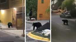Aprovechando que la gente está en sus casas, un oso se pasea por las calles de Monterrey