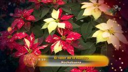 Morris: La flor de nochebuena
