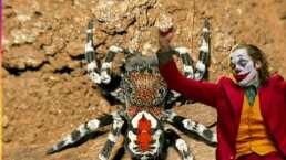 Lasrápidasde Cuéntamelo ya!(Viernes de julio): Bautizan a araña en honor a Joaquin Phoenix