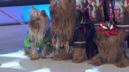 Las queridas mascotas también tienen derecho a disfrazarse en estas fiestas patrias
