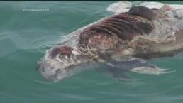 La mafia detrás de la extinción de la vaquita marina será expuesta