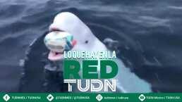 ¡Increíble! La ballena blanca que juega rugby