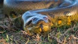 Mira el video en el que un buzo se encuentra con una asombrosa anaconda gigante